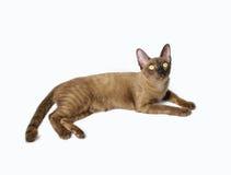 Insegna del gatto birmano Fotografia Stock Libera da Diritti