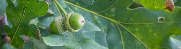 Insegna del ramo della quercia con le foglie verdi e le ghiande un giorno soleggiato Quercia di estate fondo vago della foglia Fotografia Stock