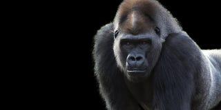 Insegna della gorilla del Silverback fotografia stock