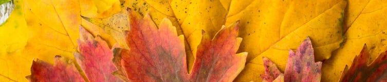 Insegna delle foglie di acero rosse e verdi gialle con il fondo del primo piano di pendenza Fotografia Stock