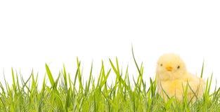 Insegna di Pasqua con l'erba della molla ed il pollo del bambino Immagine Stock Libera da Diritti