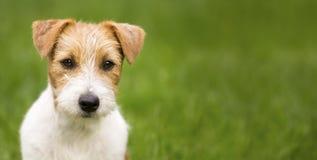 Insegna felice del cane di animale domestico di russell della presa immagini stock