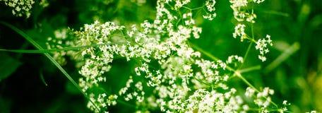 Insegna verde viva della primavera o di estate con erba ed i fiori bianchi selvaggi immagini stock