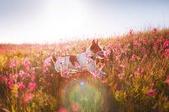 Insegua in fiori Jack Russell Terrier Fotografie Stock
