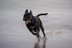 Insegua galoppare attraverso una spiaggia bagnata con le gambe anteriori fuori dalla terra Fotografia Stock Libera da Diritti