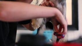 Insegua governare Yorkshire terrier che ottiene il taglio dei capelli al salone dell'animale domestico archivi video