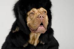 Insegua il cappotto e la protezione di pelliccia da portare con gli alettoni dell'orecchio immagini stock libere da diritti