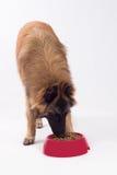 Insegua il cibo dal cibo per cani in ciotola rossa di plastica Fotografia Stock