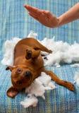 Insegua il cucciolo impertinente punito dopo il morso un cuscino Immagine Stock