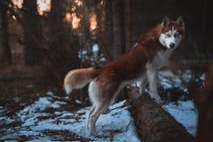 Insegua il husky siberiano della razza che cammina nell'alba del fondo della foresta di primavera fotografia stock