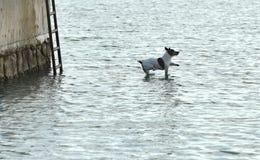 Insegua il salto all'acqua, il terrier del cane, il cane divertente, il cane volante, terrier del cane Fotografie Stock