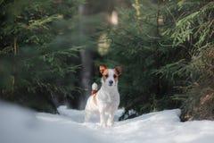 Insegua il terrier di Russel della presa all'aperto nella foresta, felice fotografia stock