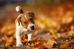 Insegua il terrier di russell della presa della razza che gioca nel parco di autunno Immagine Stock Libera da Diritti