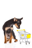 Insegua la chihuahua con il carrello di acquisto isolato su fondo bianco Immagini Stock Libere da Diritti
