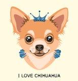 Insegua la chihuahua del ritratto con una corona sulla testa Immagine Stock