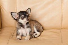 Insegua la chihuahua su un piccolo animale domestico del cane della sedia Immagini Stock Libere da Diritti