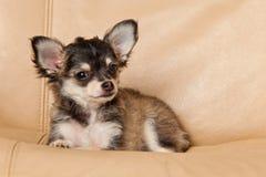 Insegua la chihuahua su un piccolo animale domestico del cane della sedia Fotografia Stock