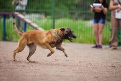 Insegua la concorrenza, l'addestramento del cane poliziotto, cani mettono in mostra fotografie stock libere da diritti