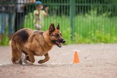 Insegua la concorrenza, l'addestramento del cane poliziotto, cani mettono in mostra immagini stock libere da diritti