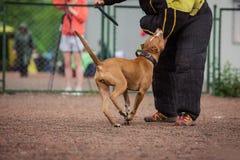 Insegua la concorrenza, l'addestramento del cane poliziotto, cani mettono in mostra Fotografia Stock