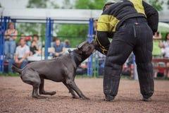Insegua la concorrenza, l'addestramento del cane poliziotto, cani mettono in mostra Fotografie Stock