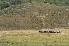Insegua la custodia del gregge delle pecore sul pascolo della montagna Fotografia Stock
