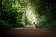 Insegua la seduta sul percorso nel parco pastore australiano obbediente immagine stock libera da diritti