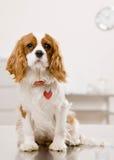 Insegua la seduta sulla stanza dell'esame alla clinica veterinaria Fotografia Stock