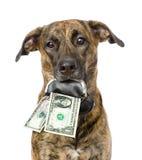 Insegua la tenuta della borsa con i dollari nella sua bocca Isolato su bianco Immagine Stock