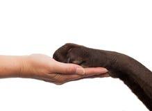 Insegua la zampa e la mano umana che fanno una stretta di mano Immagini Stock Libere da Diritti