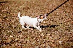Insegua le tirate e mastichi il suo cavo che gioca al giorno soleggiato della molla Fotografie Stock Libere da Diritti