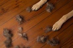 Insegua le zampe sul fondo di legno del pavimento con il mucchio di lana flo sporco Immagine Stock