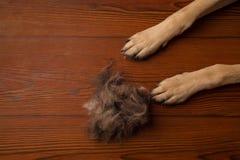 Insegua le zampe sul fondo di legno del pavimento con il mucchio di lana flo sporco Fotografia Stock Libera da Diritti