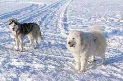 Insegue il husky siberiano su neve Fotografia Stock