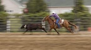 Inseguendo giù la sfuocatura di cottura e di movimento della mucca Fotografia Stock