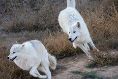 Inseguimento artico dei lupi Fotografie Stock Libere da Diritti