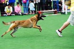 Inseguimento del cane Immagini Stock