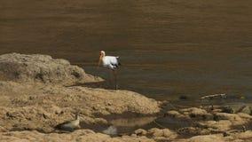 Inseguimento del colpo di una cicogna dal becco giallo al fiume di Mara in masai Mara archivi video