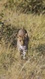 Inseguimento del leopardo Immagini Stock