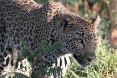 Inseguimento del leopardo Immagini Stock Libere da Diritti