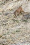 inseguimento della preda della montagna del leone Fotografie Stock Libere da Diritti