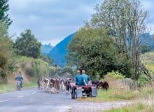Inseguimento delle mucche Immagine Stock Libera da Diritti