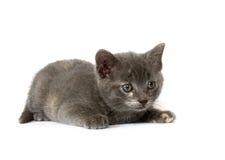 Inseguimento grigio del gattino Fotografie Stock