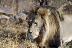 Inseguimento maschio del leone Immagini Stock