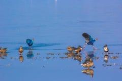 Inseguimento porpora di Swamphen Fotografia Stock Libera da Diritti