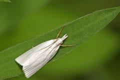 insektów ćma Obraz Royalty Free