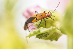 Insektów matować Fotografia Stock