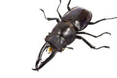 Insekt, ściga, nosorożec ścigi pluskwa zdjęcie stock