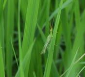Insekt ścigi zwierzę zdjęcie royalty free
