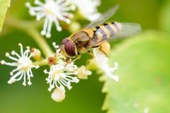 insekt Lizenzfreies Stockbild